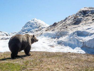 grouse-bear