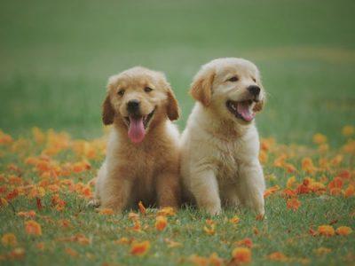 vqa-vet-dogs